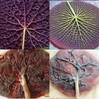 placenta si frunzele