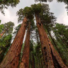 sequoia gigantii