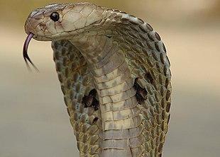zei- cobra